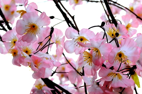 Sakura blossoms - Ueno Park, Tokyo, Japan